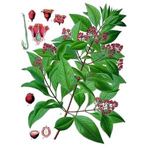 Olio essenziale, aromaterapia, PNI, massaggio